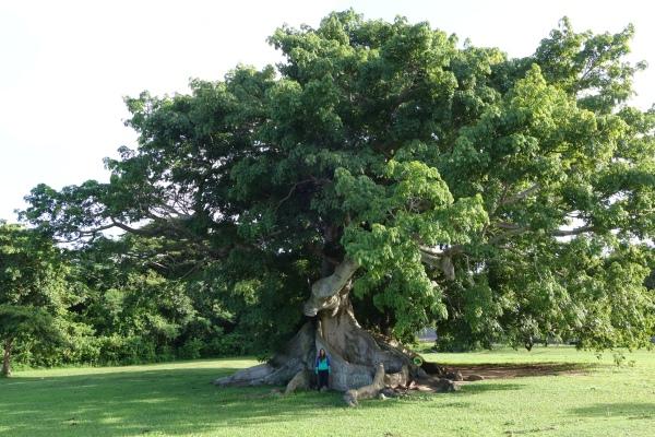 Vieques Cieba Tree