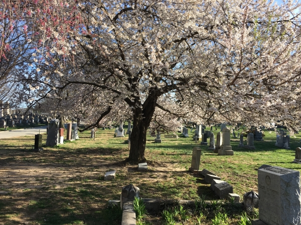 Congressional Cemetery cherry tree in full bloom