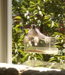 Blue Jay Juvenile – First day with the newwings