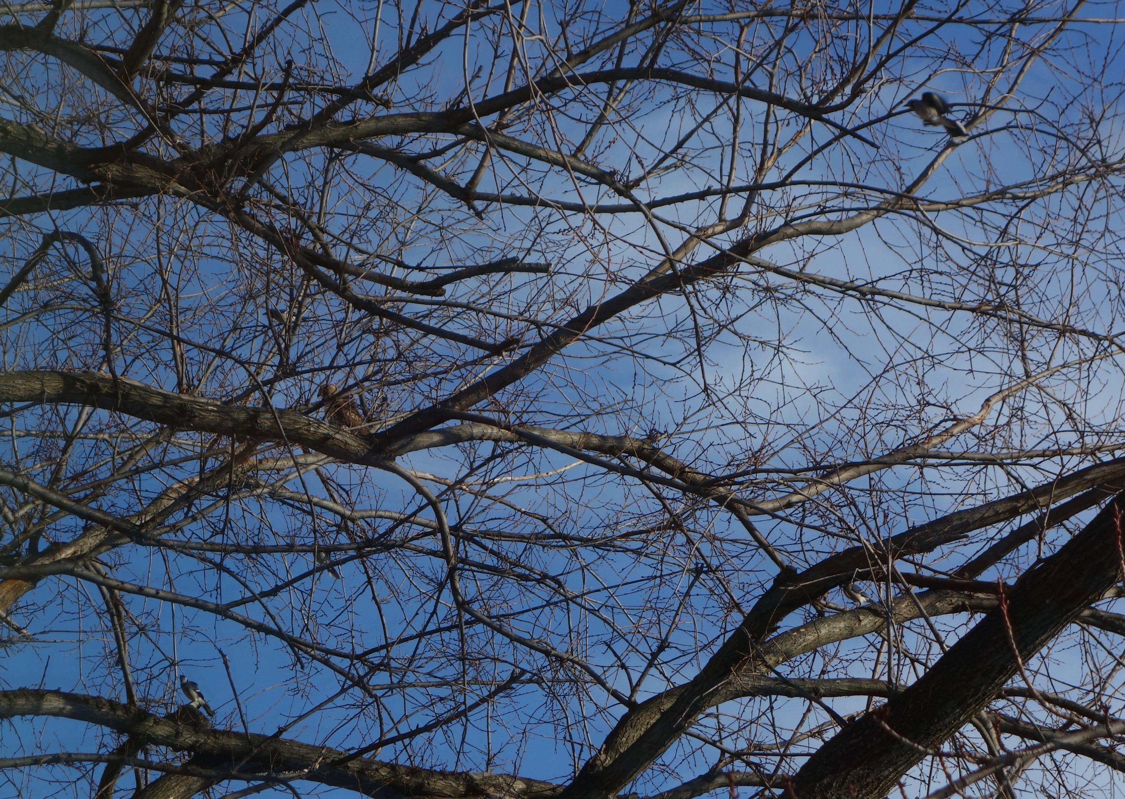 Cooper Hawk Versus Four Blue Jays